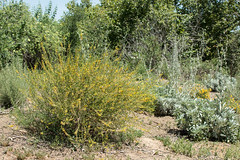 Acmispon scoparius; Salvia apiana (Weeding Wild Suburbia) Tags: park gardens places publicgardens spnp