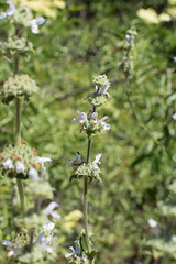 Salvia mellifera (Weeding Wild Suburbia) Tags: park gardens places publicgardens spnp