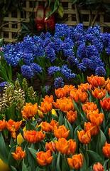 Tulipmanina 2014 @ GBTB (gintks) Tags: singapore tulips flowerdome gardensbythebay singaporetourismboard gbtb