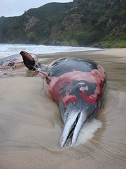 Mesoplodon sp. (beaked whale) stranding: DSC07902 (Roving_photographer) Tags: newzealand beach whale northland autopsy matauribay stranding necropsy iwi mesoplodon