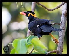 The Andaman Hill Myna (AntoGros) Tags: hill andaman religiosa myna gracula andamanensis andamanhillmyna graculareligiosaandamanensis