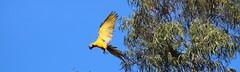 Arara Amarela (Márcio James Caruta Geber) Tags: rio azul goiânia arara goiás amarela