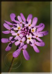Iberis ciliata subsp. contracta (Fotografa de Naturaleza de Paco Moreno Gmez) Tags: parque fauna de andaluca flora natural flor sierra picos aracena morada aroche
