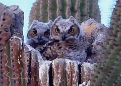 Sibling Owlets (playful_i) Tags: bird bigeyes eyes nest feathers owl fowl saguaro greathornedowl horned talons owlet owlets