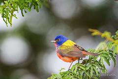 A few more from South Texas (Shepherd) Tags: bird birds texas wildlife d4s nikkor600mmf4 nikon600mm santaclararanch d800e seaton