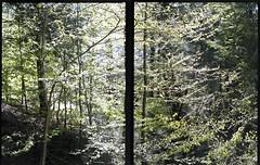Tree Line (in two frames) (Patrick J. McCormack) Tags: trees two tree mamiya film leaves analog mediumformat frames 645 vermont fuji stitch grain line fujifilm essex patrickmccormack