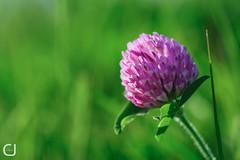 Trfle fleuri (JCPhotographie) Tags: sun flower fleur nikon vert printemps trfle d700