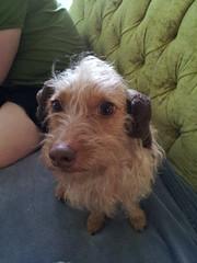 dog in pet co leia buns (tiffanycsteinke) Tags: honey wirehairdachshund wirehair dachshund doodle poodle mix dog wheatonwirehairdachshund