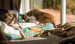 Winter sunshine (Beryls Mum) Tags: newzealand greyhound beach ddc exracinggreyhound gapgreyhound