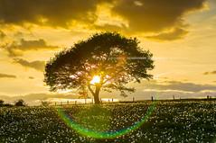 Eifel Baum im Sonnenuntergang und wolken Himmel /  Eifel tree in the sunset sky and clouds (R.Classen - Photography) Tags: old light sunset sky sunlight tree grass silhouette clouds landscape golden abend licht nationalpark oak sonnenuntergang cloudy sommer urlaub jahreszeit natur feld meadow wiese himmel wolken eifel dandelion gelb nrw dmmerung grn blau holz landschaft sonne wald bltter farbe sonnenuntergnge weite schatten baum horizont bauernhof wanderer wetter stimmung frhling scattered einsam eiche hgel blauestunde lwenzahn srping touristen idyllisch romantisch bewlkt fremdenverkehr wolkenbilder laubbaum schattenbild kologie ackerbau laubwerk dramtisch streulicht