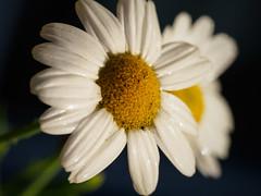 Daisies (davepickettphotographer) Tags: flowers daisies garden pair olympus daisy cambridgeshire em5 olympuscamera huntingdonshire