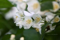 Jasmine (grce) Tags: white flower macro green nature yellow garden flora bokeh jasmine flowering