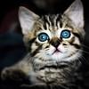 (Chris B70D) Tags: new family chris light portrait pet cute field cat canon grey eyes focus kitten natural tabby adorable whiskers tiny playful depth markings rocco 70d berridge