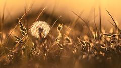 background (Lszl_F) Tags: light animal golden dof bokeh wildlife deer 300mm goldenhour d300 300mmf4 waterleidingduinen 300mmf4af nikond300 nikkor300mmf4afed nikon300mmf4afed waterschapsduinen 300mmf4afed