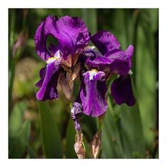 Iris Sauvage (Gabi Monnier) Tags: iris france flower fleur canon flickr jour provence cassis calanques provencealpescôtedazur extérieur canoneos600d gabimonnier