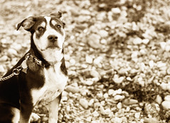 (Kylee Vincent Photography) Tags: blackandwhite bw dog cute beagle sepia puppy photography 50mm blackwhite nikon tyson f14 newengland newhampshire nh blackdog stare curious bandw d90 beaglemix nikond90 fstop14 kyleevincentphotography kyleevincent kyleeuliano