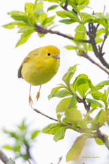 _53F0174 Yellow Warbler (~ Michaela Sagatova ~) Tags: inflight highkey dundas raining yellowwarbler dendroicapetechia dvca michaelasagatova