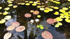 Anglų lietuvių žodynas. Žodis pond lily reiškia lelija tvenkinys lietuviškai.