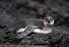 Spheniscus mendiculus - Manchot des Galapagos - Galapagos Penguin - 2014 Galapagos 04.jpg