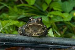DSC_0001toad (Grudnick) Tags: nikon raw nef frog toad urbanwildlife d200