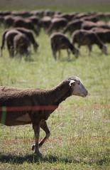 Crau-6252.jpg (patrice fender) Tags: provence moutons alpilles camargue brebis crau troupeau