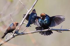 _53F0912 Brown-headed Cowbirds (~ Michaela Sagatova ~) Tags: spring males dundas brownheadedcowbird molothrusater birdphotography dvca michaelasagatova