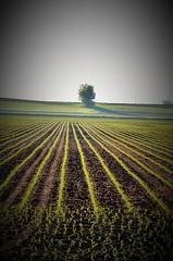 Corn Rows (tnhawki63) Tags: tree corn soil rows lonetree