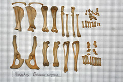 HedgehogLimbs2 (JRochester) Tags: skeleton bone hedgehog limbs femur tibia pelvis clavicle fibula radius ulna scapula humerus europaeus erinaceus osteology