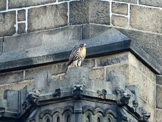 Cathedral Hawk Fledgling (2656)