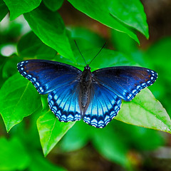 Red Spotted Purple Butterfly (rschnaible) Tags: park red usa mountains color butterfly outdoors us colorful purple tn cove tennessee great sightseeing tourist east national destination spotted smoky eastern hdr cades the