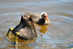 Looking For Dinner (Glenn Pye) Tags: bird nature birds nikon wildlife coot coots billinge d3000 nikond3000