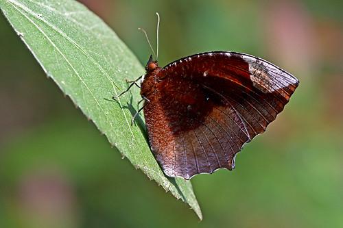 Elymnias hypermnestra - Common Palmfly
