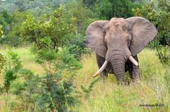 DSC_3368 (Arno Meintjes Wildlife) Tags: africa elephant nature animal southafrica wildlife safari africanelephant big5 loxodontaafricana africanbushelephant arnomeintjes