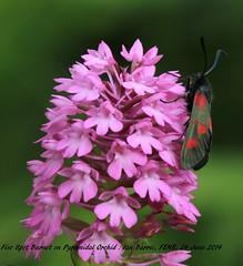 Five Spot Burnet&Orchid_017