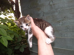 dwarf kitten (rospix) Tags: uk macro nature animal june wales cat kitten dwarf 2014 rospix