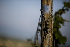 Blue in the vineyard (mexou) Tags: vineyard luxembourg wormeldange 135mmf2 koeppchen