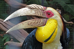 Wreathed Hornbill (brentflynn76) Tags: color colour bird nature animal thailand photo aviary phuket animalplanet hornbill avian wreathed
