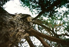 Bark! (Petja Albrecht) Tags: tree film branches australia bark perth kingspark westernaustralia
