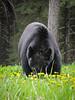 Banff National Park (dimthoughts) Tags: alberta bnp banffnationalpark canada parcnationaldebanff animal animals animaux bear blackbear daytime nature ours oursnoir outdoors extérieur dehors naturallight outside duo pair fauna pleinair éclairagenaturel