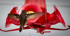 Rufous Hummingbird (Selasphorus rufus) Sicamous BC Canada. (Vafa Anderson) Tags: canada birds columbia rufus british sicamous rufoushummingbird selasphorusrufus themuzungucom