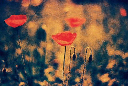 Praktica BC1 - Redscaled and Cross Processed - Poppies 3