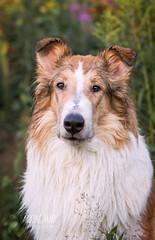 Koios the dog (Barking Mad Photography) Tags: dog pet animal canon collie mark 8 1d rough companion lassie iv roughcollie smoothcollie canon70200mmf2 canon1dmarkiv canonef70200mmf28lisiiusm