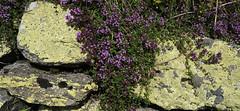 Alpenflora (Rosmarie Voegtli) Tags: flowers schweiz switzerland rocks hiking stones blumen steine wallis wandern simplon alpenflora
