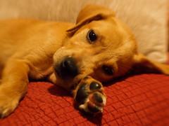 (KaLiMaN BoKeH) Tags: portrait orange lensbaby puppy lab dof bokeh couch olympusep3 lensbabysweet35mm