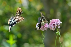 Scabiosa and swallowtail butterflies (myu-myu) Tags: nature japan butterfly insect nikon mygarden  swallowtail d800 scabiosa    papilioxuthus  afsvrmicronikkor105mmf28g
