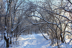 Wooden arc (lunarvogel) Tags: wood blue winter light shadow red sky sun white snow black cold tree forest stem bush frost pattern arch bright russia path bue web arc sunny freeze blanket trunk footsteps stick shrub tangle deciduousforest bole interlacing coverlet delineation interweaving
