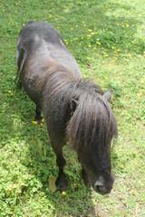 Miniature pony (Cefn Ila) Tags: horse pony friendly cwmbran henllys
