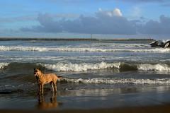Rolling Waves (Bob Hawley) Tags: sea seascape beach dogs asia taiwan kaohsiung tokina2870f28 vividstriking nikond7100