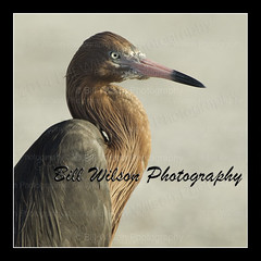 Reddish Egret (wildlifephotonj) Tags: birds egret egrets naturephotography shorebirds wadingbirds reddishegret wildlifephotography