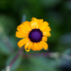 Yellow & purple (MD_Photographie) Tags: flowers fleurs canon 50mm 1100d
